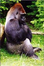 Gorillaspotlight